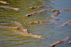 鳄鱼被骚扰的水 免版税库存照片