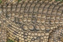 鳄鱼详细资料缩放比例 免版税图库摄影