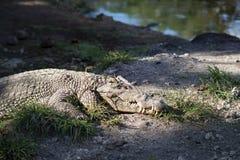 鳄鱼说谎的谎言画象在一个河岸的在太阳下 ?? 免版税库存照片