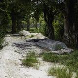 鳄鱼足迹 库存照片