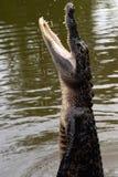 鳄鱼跳出水 免版税库存图片