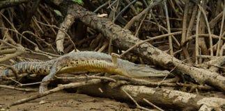 鳄鱼跳过木头在斯里巴加湾文莱,婆罗洲 库存照片