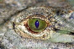 鳄鱼软绵绵地注视 免版税库存图片