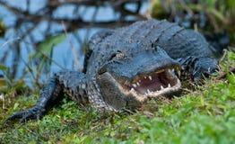 鳄鱼边缘水 库存图片