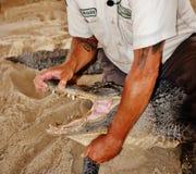 鳄鱼野生生物展示沼泽地佛罗里达美国打开嘴回旋 免版税库存图片