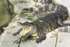 鳄鱼野生生物 免版税图库摄影
