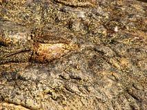 鳄鱼隐藏皮肤 免版税库存照片