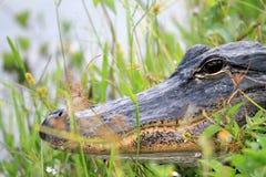 鳄鱼顶头沼泽地关闭  图库摄影