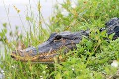 鳄鱼顶头沼泽地关闭  库存图片