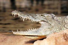 鳄鱼题头 免版税图库摄影
