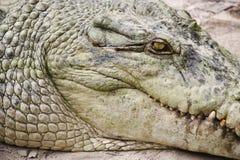 鳄鱼题头 库存图片