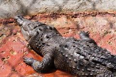 鳄鱼题头。 图库摄影