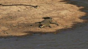 鳄鱼高射击与开放嘴的在马塞语玛拉,肯尼亚 影视素材