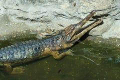 鳄鱼,动物园,动物 免版税图库摄影