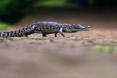 鳄鱼,动物, 免版税库存图片
