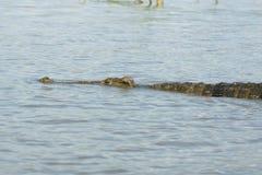鳄鱼,查莫湖,埃塞俄比亚,非洲 免版税库存图片