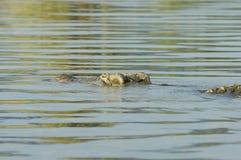 鳄鱼,查莫湖,埃塞俄比亚,非洲 免版税库存照片