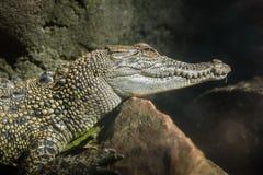 鳄鱼,等待在岩石 库存图片