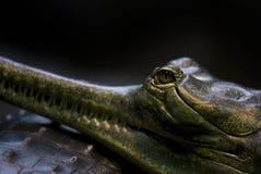 鳄鱼,重的皮肤 库存照片