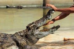 鳄鱼/手展示到鳄鱼的下颌里 免版税库存照片