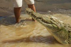 鳄鱼细节与人的腿的在背景中 库存图片