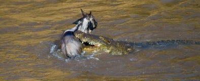 鳄鱼攻击角马在玛拉河 巨大迁移 肯尼亚 坦桑尼亚 马塞人玛拉国家公园 免版税库存照片