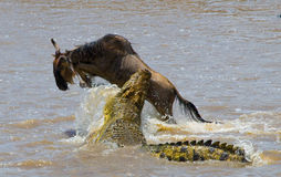 鳄鱼攻击角马在玛拉河 巨大迁移 肯尼亚 坦桑尼亚 马塞人玛拉国家公园 图库摄影