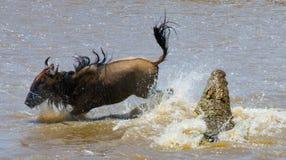 鳄鱼攻击角马在玛拉河 巨大迁移 肯尼亚 坦桑尼亚 马塞人玛拉国家公园 免版税库存图片