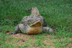 鳄鱼画象 图库摄影