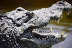 鳄鱼画象 免版税库存图片