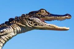 鳄鱼-题头、眼睛、牙和皮肤纹理 免版税图库摄影