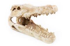 鳄鱼头骨牙关闭  免版税库存图片