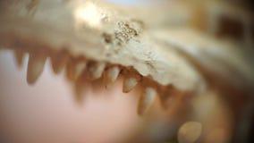 鳄鱼头骨的特写镜头 影视素材