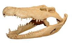 鳄鱼头骨 免版税库存图片