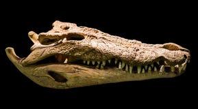 鳄鱼头骨 库存照片
