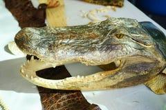 鳄鱼头骨 免版税库存照片
