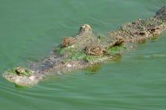鳄鱼头,当游泳时 免版税库存图片