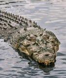 鳄鱼水 库存照片