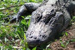 鳄鱼头  免版税库存照片