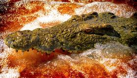 鳄鱼攻击 免版税库存照片
