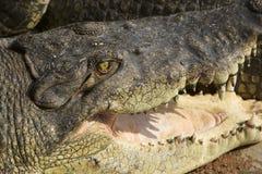 鳄鱼嘴 免版税库存照片