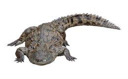 鳄鱼 库存照片