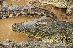 鳄鱼 免版税图库摄影
