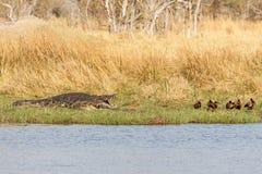 鳄鱼- Okavango三角洲,非洲 库存图片