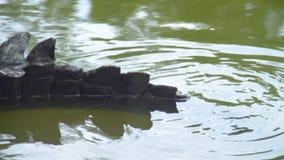 鳄鱼` s尾巴射击  影视素材