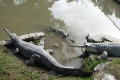 鳄鱼gavial拉特 Gavialis gangeticus 库存图片