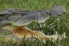 鳄鱼iv盐水 库存照片