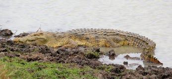 鳄鱼mikumi国家尼罗公园坦桑尼亚 图库摄影