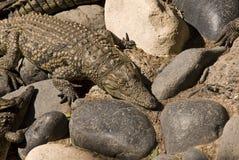 鳄鱼mississippiensis 免版税库存图片