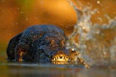 鳄鱼Yacare凯门鳄,在与晚上太阳的水中,动物在自然栖所,行动狩猎场面,飞溅水,潘塔纳尔湿地 免版税库存照片